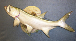 fiberglass reproduction of a tarpon