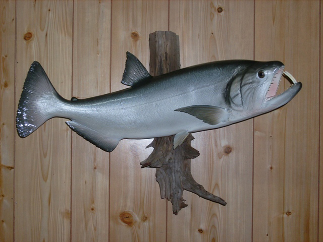 Payara replicas payara bass fiberglass fish reproductions for Fiberglass fish replicas